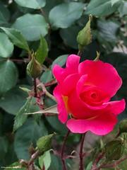 une-rose© (alexandrarougeron) Tags: photo alexandra rougeron flickr fleurs nature plante végétal végétale ville beauté couleur frais