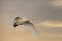 Whooper in flight - WWT Caerlaverock (cazalegg) Tags: whooper swan wwt caerlaverock dumfriesshire winter sunset fly nikon d500