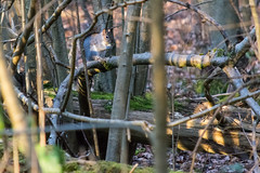 Squirrel Eating Dinner (nickstone333) Tags: squirrel woods tree branches whippendellwood nikon nikond7100 d7100