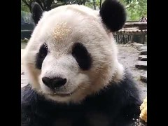 Cute panda have a lunch (tipiboogor1984) Tags: aww cute cat funny dog youtube