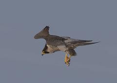 Peregrine Falcon (falco peregrinus) (Steve Ashton Wildlife Images) Tags: peregrine falcon peregrinefalcon bird prey birdofprey raptor peregrinus falco falcoperegrinus