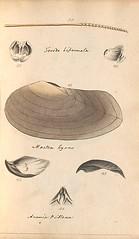 n52_w1150 (BioDivLibrary) Tags: greatbritain mollusks museumsvictoria bhl:page=57640223 dc:identifier=httpsbiodiversitylibraryorgpage57640223 conchologicaldictionary conchology shells britishisles britishislands williamturton british