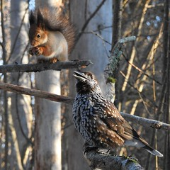 Red Squirrel and Spotted Nutcracker. (eerokiuru) Tags: redsquirrel sciurusvulgaris eichhörnchen orav spottednutcracker nucifragacaryocatactes tannenhäher mänsak animal p900 nikoncoolpixp900