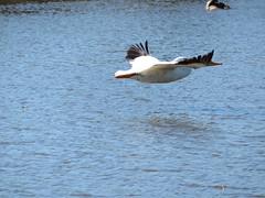 American White Pelican (rudyg39) Tags: elkgrove camdenlake americanwhitepelican