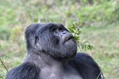 Fine weather today... (xhunter83) Tags: gorilla ape wildlife animal uganda mgahinga