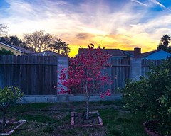 Flowers in the Backyard. (Seymour Lu) Tags: evening relax phone usa life pink blooming bloom trees photography fences clouds backyard garden home plants apple iphonexs spring sunset iphone california arcadia flowers