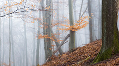 Soft lights in the Forest (BenedekM) Tags: pilis pilisszentkereszt dobogoko predkialoszek dunakanyar magyarorszag hungary hungarian forest woods lights foggy fog hills mountains mood dark leaves sigma1750f28hsmdcex field winter nature