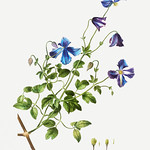 Italian leather flower (Clematis viticella) illustration from Tr thumbnail