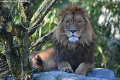 African lion - Zoo Duisburg (Mandenno photography) Tags: animal animals african lion lions leeuw leeuwen tsavo zoo dierenpark dierentuin dieren duitsland duisburg zooduisburg germany bigcat big cat cats natgeo natgeographic nature
