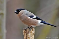 Bouvreuil pivoine (Pyrrhula pyrrhula)  (130) (Didier Schürch) Tags: nature foret bois animal oiseau bouvreuil pyrrhula