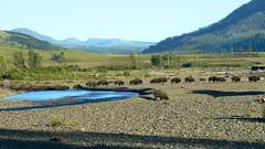 P1040085 copy.jpg (Upstate Dave) Tags: majorplaces mammals riversandstreams 2010 sodabuttecreek yellowstone bison places yellowstonenationalpark
