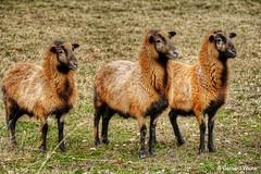 The three sheep (GerWi) Tags: schafe schafsrasse schafsart weide wiese dunkelbraun schwarz unbekannteschafsart sheep hufe ohren schafskopf augen beine wolle schafswolle