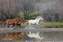 _V5A0342 (littlebiddle) Tags: wildlife horses nature equine arizona saltriver tontonationalforest