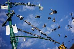 Pigeons (dtanist) Tags: nyc newyork newyorkcity new york city sony a7 7artisans 35mm brooklyn sunset park pigeons birds flying light pole sky