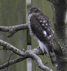 Yearling female (john.purvis) Tags: sigma500mmf4sport rspb sparrowhawk canon1dxmark2 ornithology birds raptor bto accipiternisus