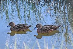 Brown teal (bevanwalker) Tags: duck bird creek dam animal fresh summer photography plant outdoor native nature wildlife endemic pose portrait beak feathers moment camera d750 nikon lens 80400mmf56 pattern image water time colour