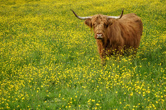 What Shall We Do Now? (u c c r o w) Tags: highlandcattle bull cow spring nature outdoor animal sweden blekinge yellow green swedish europe european flowerfield flowers flower svalemåla stugby outside