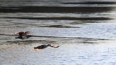 woodFlight1 (GrfxDziner) Tags: wood duck aix sponsa male female grfxdziner dc kerimccarthydrive gwennie2006 dcmemorialfoundation canon rebel t6 rebelt6 eos efs 500mm telephoto