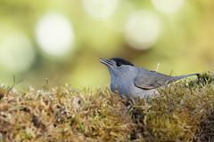 warbler (fauvette mâle) (denisaguilar1) Tags: oiseaux sauvage passereau fauvettewarbler nature ornithologie migrateur forêt