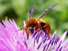 ABEJA ROJA Rhodanthidium sticticum (Pedro Muñoz Sánchez) Tags: abeja roja rhodanthidium sticticum macro macrofotografía nature natur naturephotography colors