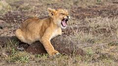 lion cub (eric hughes 2014) Tags: lion cub wildlife nature animal africa massaimara canon 7dmarkii 300mmf28lllisusm 2019