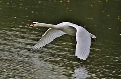 Air Swan (Hugo von Schreck) Tags: hugovonschreck bird vogel swan schwan animal canoneos5dmarkiii sigma150500mm