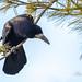 Corbeau freux - Corvus frugilegus - 26 décembre 2018 (ÇhяḯṧtÖρнε) Tags: assevillers corbeaufreux corbeaufreuxcorvusfrugilegus corvidés corvusfrugilegus france passériformes paysbas rook somme bird oiseau