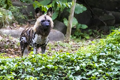 African Painted Dog (Synghan) Tags: africanpainteddog african painted dog dogs animal photography horizontal outdoor colourimage fragility freshness nopeople foregroundfocus adjustment interesting awe wonder fulllength depthoffield vivid sharpness tranquility peace frontview seeing watching paintedhuntingdog paintedwolf canidae lycaon pictus nature natural wild wildlife mammal canon eos80d 80d tamron 18270mm f3563 diii sp vc 개 사냥개 얼룩사냥개