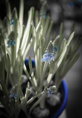 Muscari (judy dean) Tags: 365the2019edition 3652019 day17365 17jan19judydean 2019 muscari grapehyacinth blue bulb gift bowl