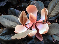 Chinese Evergreen Magnolia (San Francisco Gal) Tags: magnolia chineseevergreenmagnolia magnoliadelavayi flower bloom blossom fleur iphone goldengatepark sanfrancisco ngc npc