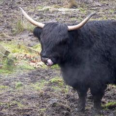 Long-horn cattle, near Kilsyth (luckypenguin) Tags: scotland northlanarkshire kilsyth