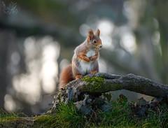 Rosso (Eros Penatti) Tags: scoiattolorosso monza parcodimonza lombardia sciurusvulgaris italia