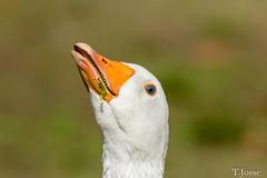 20180825_Vincennes_Oie cendrée (thadeus72) Tags: anatidae anatidés anseranser ansériformes aves birds greylaggoose oiecendrée oiseaux