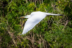 Great Egret (tspine) Tags: gatorland greategret