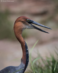 Goliath Heron (leendert3) Tags: leonmolenaar southafrica krugernationalpark wildlife nature animals birds goliathheron ngc npc naturethroughthelens coth5