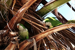 Monk parakeets on tree 3 (benrokh) Tags: m50 stm eosm50 canonm50 55250 55250stm is