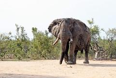 African Bush Elephant  (Loxodonta africana)  Саванный слон (Mikhail & Yana) Tags: africanbushelephant loxodontaafricana саванныйслон animal mammal krugernationalpark wildlife nature