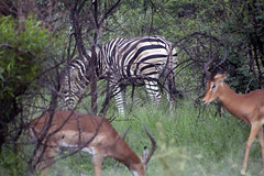 african safari antelopes and zebra (andrewantipin) Tags: zebra antelope animals africa safari wildlife nature landscape southafrica