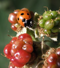 Colourful! (rockwolf) Tags: coccinellaseptempunctata 7spot ladybird beetle coccinellidae coccinelle coccinelleà7points insect bramble blackberries atcham shropshire rockwolf