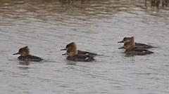 F_032019c (Eric C. Reuter) Tags: birds birding nature wildlife nj forsythe refuge nwr oceanville brigantine march 2019 032019