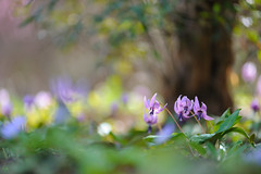 20190321-DS7_1174.jpg (d3_plus) Tags: bokeh aiafzoomnikkor80200mmf28sed d700 thesedays wildflower 日常 walking 城山 ボケ 相模原 望遠 カタクリ 自然 景色 dogtoothviolet sagamihara trekking 神奈川県 sky telephoto 山野草 風景 japan erythroniumjaponicum ニコン トレッキング nature dailyphoto ハイキング nikon nikond700 kanagawa flower nikkor shiroyama 8020028 dogtoothvioletvillage bloom 植物 80200mmf28d 散歩 80200mmf28af plant 花 scenery 80200mmf28 daily 城山かたくりの里 hiking 80200 日本 tele 80200mm かたくりの里 空