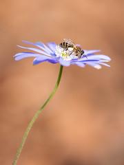 Just Visiting (Gijs Peijs) Tags: spring natuur netherlands nature flower outdoor bij bloem green purple macro closeup bee pollen insect paars lente blooming petal blossom petals detail