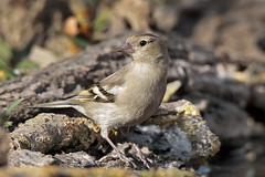 Fringuella (Marcello Giardinazzo) Tags: fringuello avifauna natura wild uccelli bird
