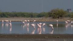 Flamingos (iamfisheye) Tags: 300mm naturetrek d500 xqd february vr flamingos f4 india flamingo indianwildasssanctuary nikon afs littlerannofkutch 2019 tc14iii pf gujarat raremammalsandbirdsofgujarat