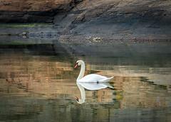 The lonely swan (tittiyttersj) Tags: svan swan reflections speglingar bohuslän sverige sweden