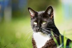 Calinou (Cyril Ribault) Tags: smcpa70210mmf4 pentax kr chat cat gato black noir moustache minou