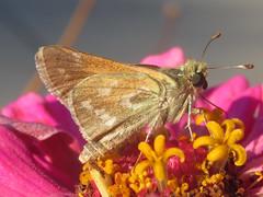 Hesperia colorado, male (tigerbeatlefreak) Tags: hesperia colorado insect butterfly skipper lepidoptera hesperiidae nebraska
