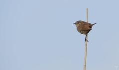 Wren (explore) (Jongejan) Tags: wren winterkoning bird animal outdoor outside nature wildlife sky blue reed