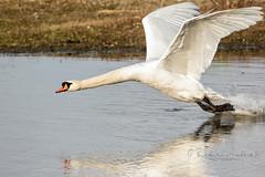 Down the swanee (~ **Barbara ** ~) Tags: swan water bird wildfowl lake naturereserve summerleys northamptonshire countryside canon7dii bif