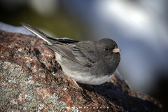 Dark Eyed Junco 2019 (John Hoadley) Tags: darkeyedjunco bird burlington ontario january 2019 canon 7dmarkii 100400ii f56 iso250 woodlandcemetery
